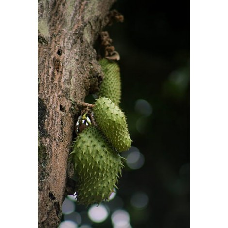 guanabana graviola