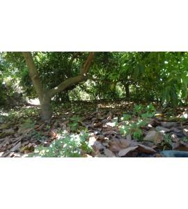 acolchado de suelo en plantacion de aguacate