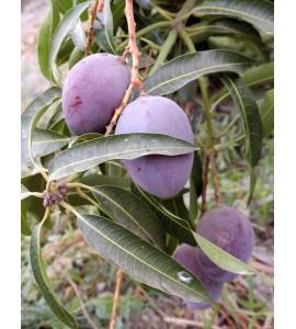 mangos planta