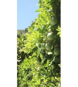 planta de fruta de la pasion