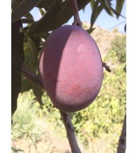primer plano mango
