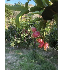 pitaya fruta