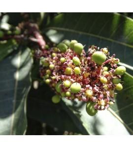 flor del mango