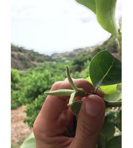 polen de chirimoya