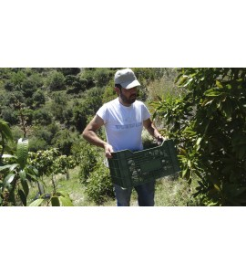 manolo picking avocados