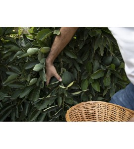 avocado tree picking