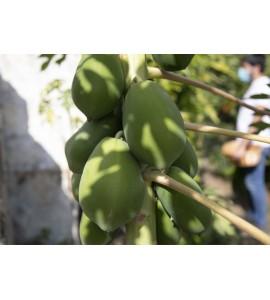 cultivo de papaya en Andalucia