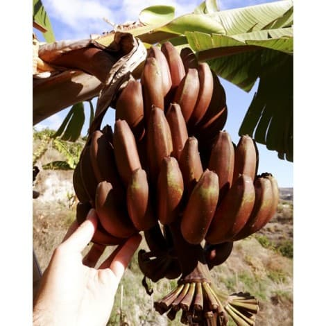 rancho de plátanos rojos