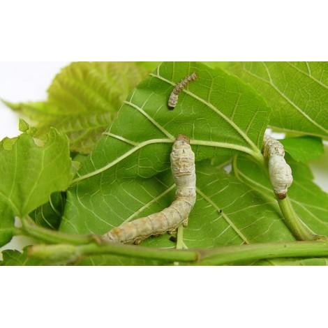 comprar hojas de morera amazon