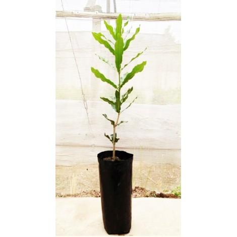 planta de macadamia